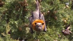 📹 Murciélagos colapsan por la ola de calor en