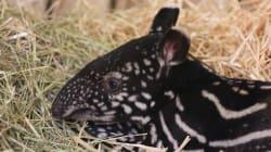 VIDEO: Un tapir de raza extraña nace en el zoológico de