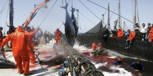 Pescadores de almadrabas suben un par de atunes de una piscina, en Zahara de los Atunes.