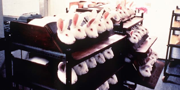 Rabbits held in stocks during eye irritancy tests for cosmetics.