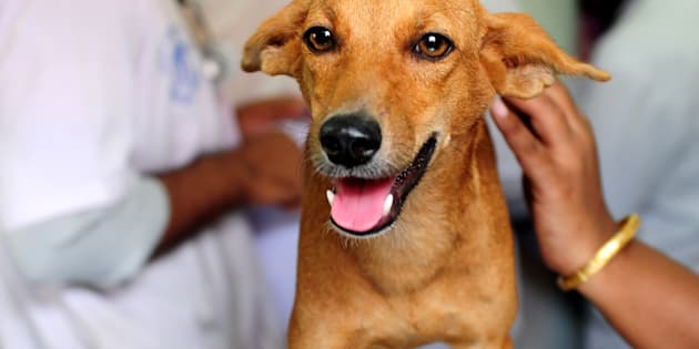 An injured dog known as 'Bhadra' looks on while being treated at Tamil Nadu Veterinary University Hospital.