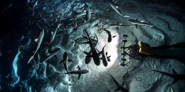 Laurent Ballesta filme les requins gris pendant la grande chasse annuelle en Polynésie française.