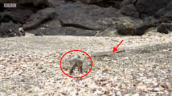 Baby Lizard Chased By Snakes Is Every Nightmare You've Ever