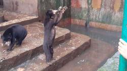 Ces images d'ours affamés en captivité ont suscité