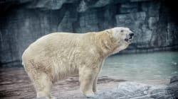 Inuka, le premier ours polaire né en milieu tropical, est