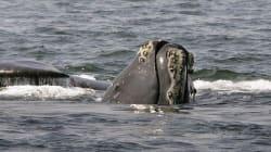 Il meurt en libérant une baleine au large du