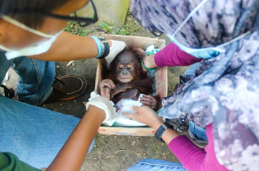 El bebé orangután Udin es rescatado del comercio ilegal de mascotas salvajes.