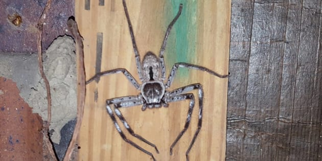 As intimidating as they look, the huntsman spider is quite harmless (to humans).