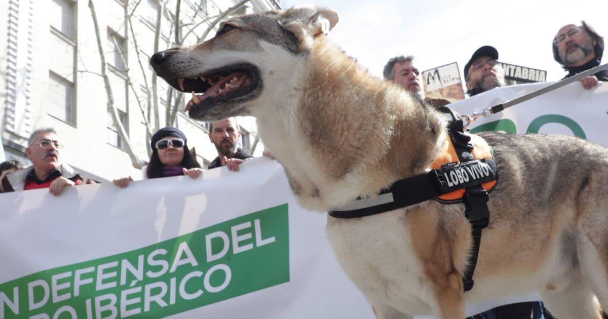 3.000 personas piden unificar las normativas en defensa del lobo ibérico