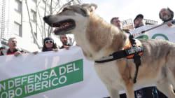 3.000 personas piden unificar las normativas en defensa del lobo