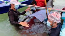 EN FOTOS: una ballena muere en Tailandia tras tragarse 80 bolsas de