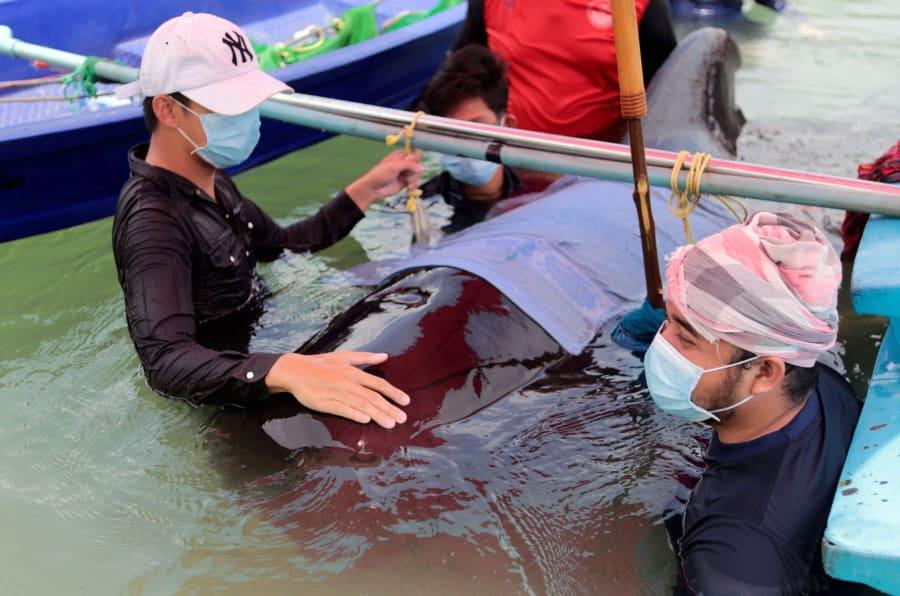 Biólogos marinos tailandeses en su intento de rescatar a una ballena piloto de aletas cortas varada en un canal de la provincia de Songkhla, al sur de Tailandia, el 30 de mayo de 2018.