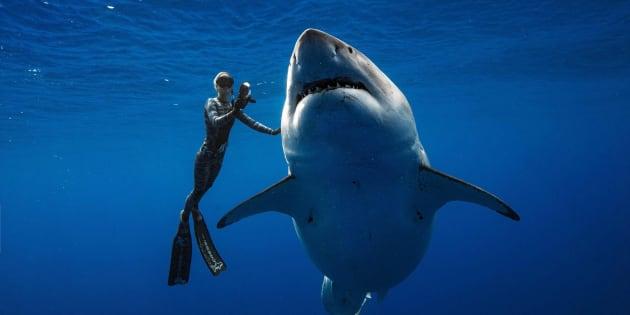Una buceadora acaricia al tiburón blanco más grande del mundo.