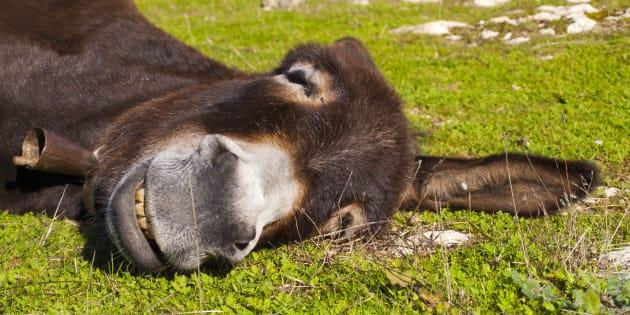 Un burro descansado.