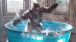 Zola il gorilla si rinfresca a passi di breakdance. Il video è