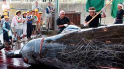 Japón retomará oficialmente la caza comercial de