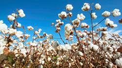 Ces chercheurs veulent faire du coton l'aliment du