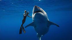 Una bióloga marina acaricia al tiburón blanco más grande del