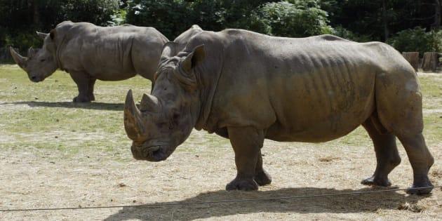 Deux rhinocéros se promenant dans le parc animalier de Thoiry le 1er août 2002.
