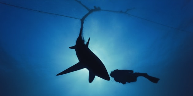 A diver checks out a shark caught in a net.
