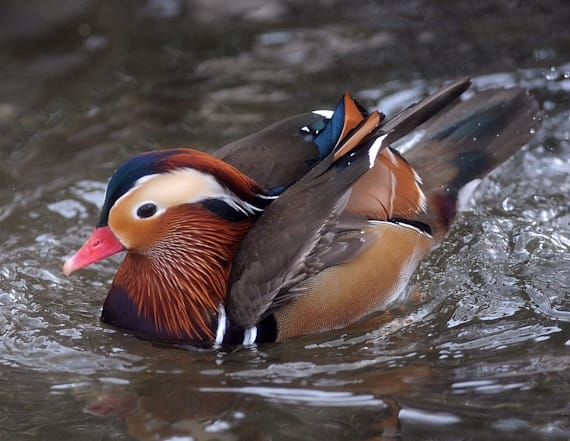 Mandarin duck spotted in New York's Central Park