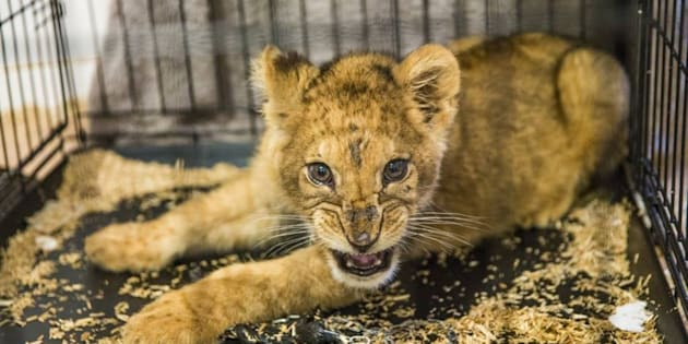 Un lionceau retrouvé à Noisy-le-Sec relâché en Afrique du Sud