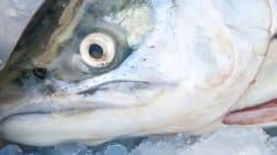 Du saumon génétiquement modifié pourrait avoir été vendu au