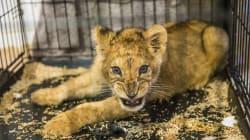 Le lionceau retrouvé dans un appartement de Seine-Saint-Denis