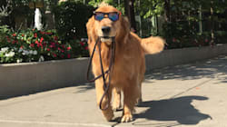 This Is Sporty, The Chicago Doggo Who Walks Himself Like A
