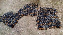 En Australia hace tanto calor que los murciélagos caen muertos de los
