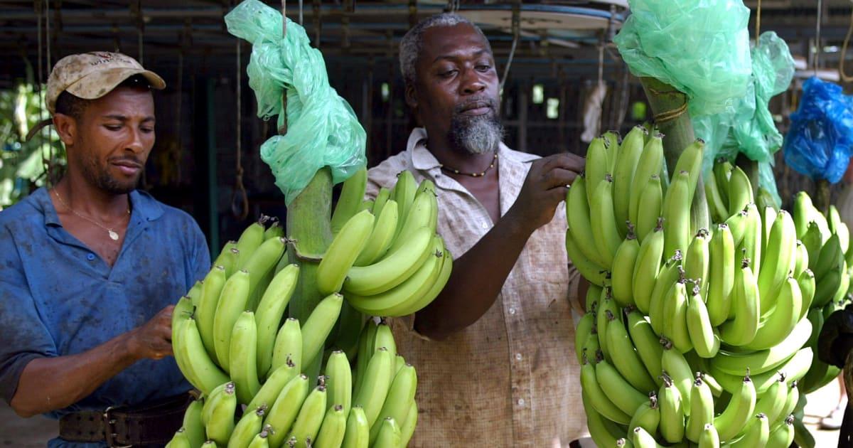 """Le chlordécone, ce pesticide """"bombe à retardement"""" de la Martinique pour 20 générations"""