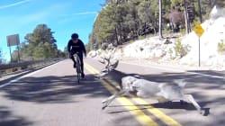 VIDEO El aparatoso accidente entre un ciclista y un venado en