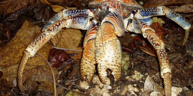 Un crabe des cocotiers.