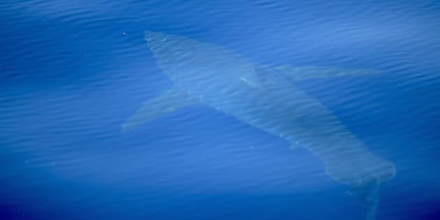 Tiburón blanco avistado cerca de las Islas Baleares.