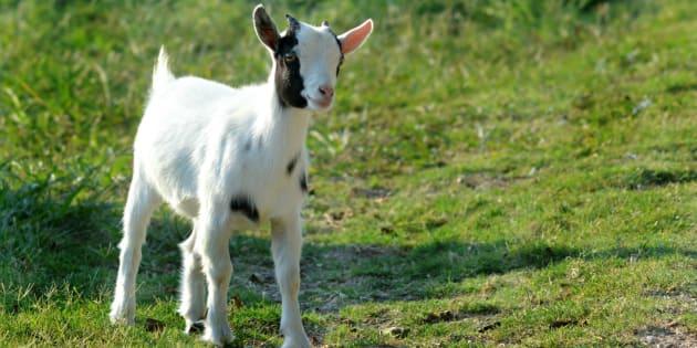 Gap, Zara, H&M et Topshop ont renoncé début mai à se fournir en laine mohair, après la diffusion par Peta d'une vidéo montrant des chèvres maltraitées.