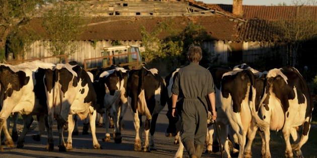 Perché trenta mucche ci fanno piangere, senza essere vegani