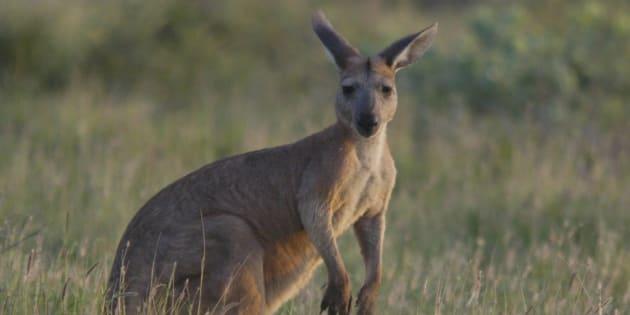 La sordide mise en scène d'un cadavre de kangourou au bord d'une route scandalise l'Australie
