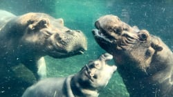 The Beautiful Moment Fiona The Baby Hippo Is Reunited With Her