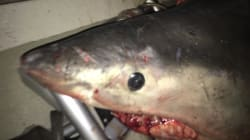 Great White Shark Jumps Into Fisherman's
