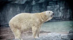 Muere el único oso polar nacido en el