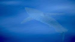 Un tiburón blanco, avistado en costas españolas por primera vez en 30