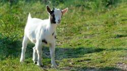 ASOS n'utilisera plus de laine mohair après les révélations de