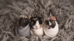 Newborn Guinea Pig Photoshoot: Top Contender For Cutest Thing