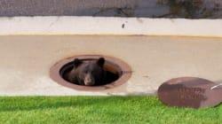 野生のクマがマンホールから…「はい、ひょっこりはん」?