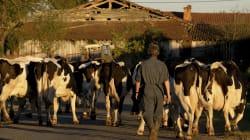 Perché trenta mucche ci fanno piangere, senza essere