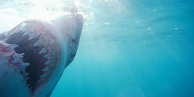 Great white shark (Carcharodoncarcharias) underwater