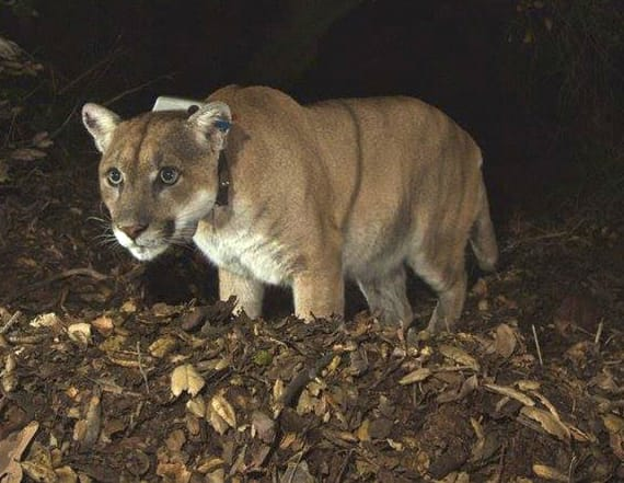 Study: SoCal mountain lions could go extinct