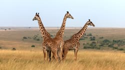 Some Giraffes May Be Closer To Extinction Than You
