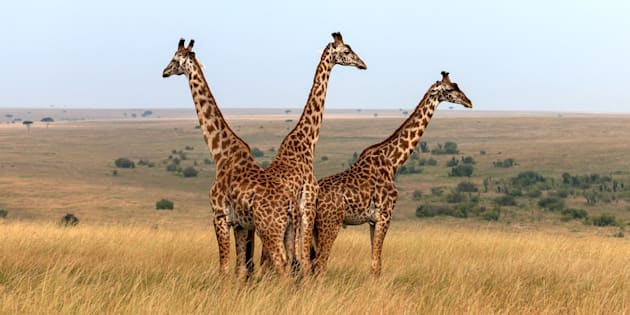 Three Masai giraffes in Kenya.