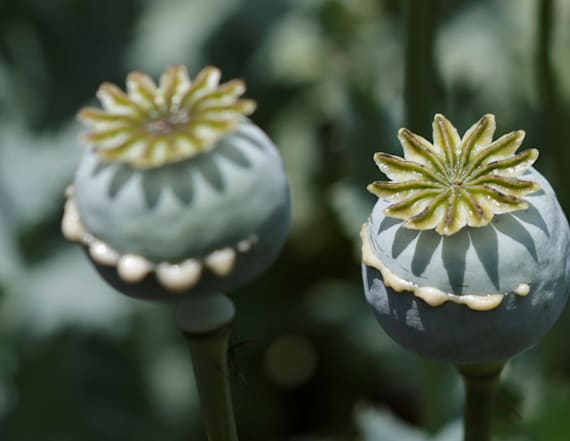 $500 million opium poppy field accidentally found